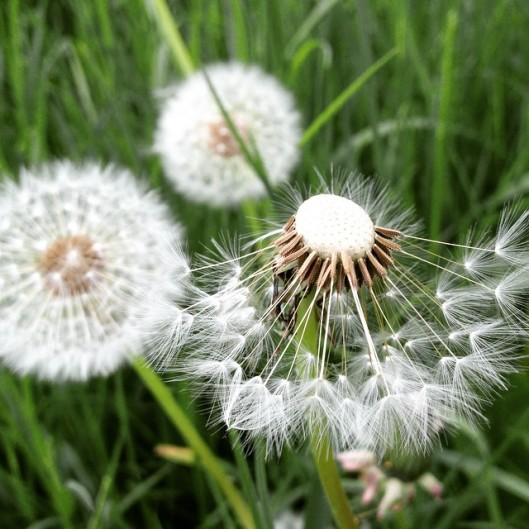 dandelion's breath